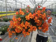 Begonia Apricot Sparkle Flower power extraordinaire www.jerseyplantsdirect.com pre-planted and delivered to your door