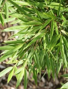 Buy bamboo Fargesia rufa: Delivery by Waitrose Garden in association with Crocus
