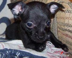 All black chihuahua