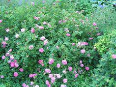 winter hardy shrubs for zone 3