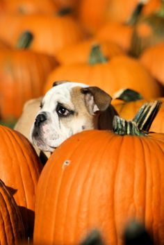 #Bulldog chooses a pumpkin