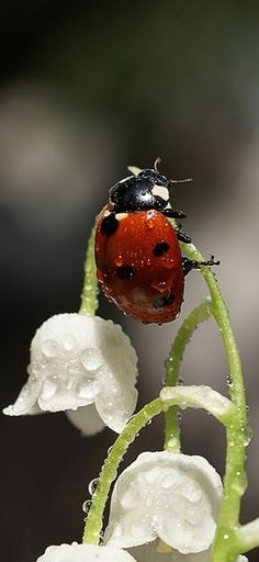 Ladybird on Lily of the Valley wet with dew...Gorgeous photo in the garden