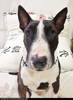 Morgan, a 3-year-old, Bull Terrier