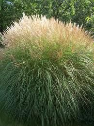 miscanthus silberspinne - Google Search