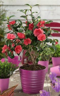 gelber jasmin zimmerpflazen pinterest jasmin pflanze. Black Bedroom Furniture Sets. Home Design Ideas