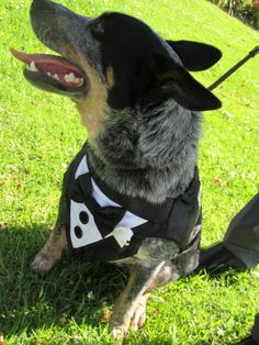 Australian blue heeler ring bearer one of the most important doggy bridal attendants :) This pooch is wearing a dog tuxedo :) complete with bow tie Suzanne Riley Marriage Celebrant Sunshine Coast Queensland