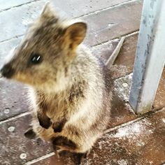 Rottnes island quokka and a half :) #australia#cute #animals #rottnestisland by kraus_marie http://ift.tt/1L5GqLp