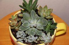 Teacup Succulent planter  Succulent Plant by SignatureSucculents