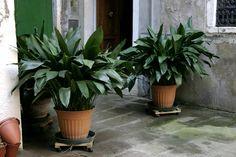 Iron plant, Aspidistra Elatior, plants for indoors, low-light plants, air purifying plants