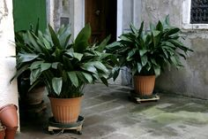 Iron plant, Aspidistra Elatior, plants for indoors, low-light plants, air purifying plants