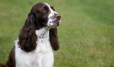 Everything you want to know about English Springer Spaniels including grooming, training, health problems, history, adoption, finding good breeder and more.