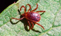The Bite of a Lone Star Tick Can Make You Allergic to Red Meat    There's been a strange growing threat lurking in the woods for the past few years. You might not see it coming but when this animal attacks it could change your life dramatically. The next time you're hiking in the woods east of New Mexico and south of Wisconsin keep your eyes peeled for the lone star tick  one bite could make you allergic to red meat.  #science #curiosity #learning #educational #getsmart #getsmarter #facts… Discovery Channel Shows, Animal Attack, Curiosity, Wisconsin, Woods, The Past, Mexico, Hiking, Things To Come