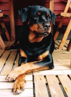 Rottweiler. We love our rottie-mix so much :)