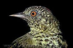 Araponga-do-horto (Oxyruncus cristatus)