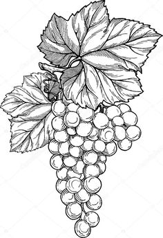 Grape branch with bunch of grapes and leaves. Grape Drawing, Vine Drawing, Leaf Drawing, Grape Wallpaper, Coloring Books, Coloring Pages, Vine Tattoos, Free Adult Coloring, Fruit Art