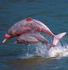 wild pink dolphins playing in the waters off lantau in hong kong
