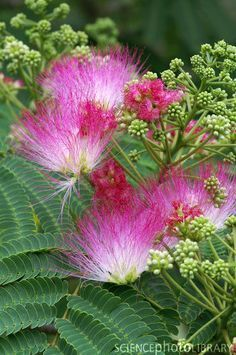 -----wow they smell like heaven lol broke my arm in 1 on these as a kid Mimosa (Albizia julibrissin ombrella 'Rose'), so sweetly scented & such a big part of my childhood; there's no better tree to climb than a smooth mimosa ; Little Flowers, Love Flowers, Beautiful Flowers, Persian Silk Tree, Tree Images, Flower Names, How To Attract Birds, Pink Garden, Belle Photo