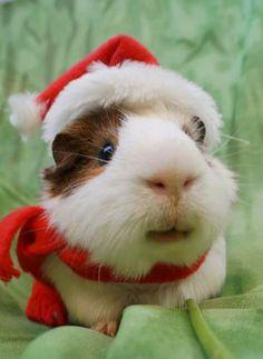 Cutest Christmas guiena pig!