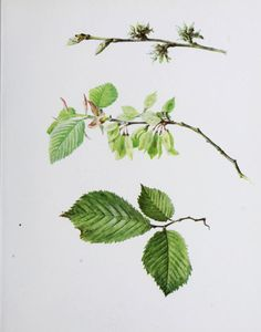 Wych Elm.  Illustration by Mrs Henry Perrin taken from 'British Flowering Plants' (Vol 1) by Professor Boulger. Published 1914 by Bernard Quaritch.  Pennsylvania Horticultural Society, McLean Library.