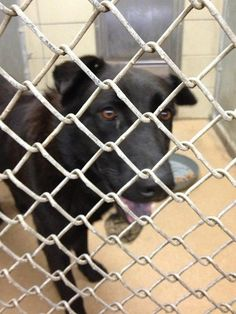 """PLEASE HELP. NO ONE HAS COME FWD--SUPER URGENT.NEEDS HELP NOW!TODAYis Rocky's LAST day. """"Rocky has kennel coughs/needs out!! I have posted him for 2 days WITHOUT 1OFFER of pledging/foster!! Rescue groups MUST have donations/fosters to save.THIS is his last day He is out of time.•Black German shepherd•ID#A171359  •Rescue only-ph: 972-205-3570, Press option 2 then 4  •Rescues - email ID number of the dog with your 501c3 and shelter rescue application to rescue@garlandtx.gov"""