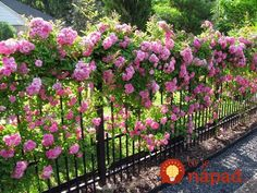 tips for growing climbing roses A 'Peggy Martin' rose blankets a garden fence in pink blooms. David Morello…A 'Peggy Martin' rose blankets a garden fence in pink blooms. Beautiful Roses, Beautiful Gardens, Pretty Flowers, Unique Garden, Easy Garden, The Secret Garden, Rose Garden Design, Garden Cottage, Climbing Roses