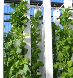 Our vertical aquaponics towers back in 2010!     Check out our set up now: https://www.facebook.com/BrightAgrotech    www.brightagrotech.com