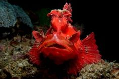 How to Tell the Different Rhinopias Species apart - Paddleflap, Weedy, Lacy - More Fun Diving Rare Fish, More Fun, Pets, Animals, Animales, Animaux, Animal, Animais, Animals And Pets