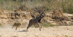 The large kudu bull was ambushed after being chased down stream - Gary Hill Gary Hill, Real Life Games, Sand Game, Game Reserve, Beautiful Creatures, Mammals, Lions, Animals And Pets, Wildlife