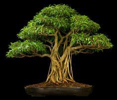 Bonsai, Ficus Nuda