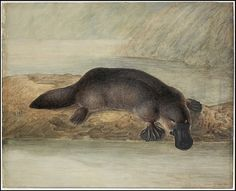 """Exhibition: 'Colony: Australia 1770 - at NGV Australia at Federation Square, Melbourne Part """"Suffice to say that his exhibition should not be missed by any Australian."""" Art work: John Lewin (England 1770 - Australia Australia from 'Platypus' 1810 Australian Animals, Australian Art, Archaeology News, Platypus, Cryptozoology, Wildlife Art, Natural History, Mammals, Fossil"""