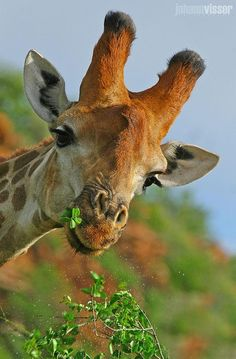 """Mr. G. Raffe. """"You seem to eat a lot. Why is that?"""" ~ """"Duh! My long legs need a lot of filling to stand up."""" LOL"""