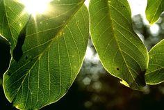 Így kezelj számtalan problémát diófalevéllel! Érdemes megjegyezni ezeket a módszereket! Plant Leaves, Plants, Flora, Plant, Planting