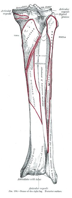 lower leg: anterior view of tibia and fibular showing location of, Skeleton