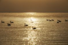Swan - Camargue magic Swans in the beautiful nature of the Camargue, near Sainte Maries de la Mer swans, sunset, reflections, France, Camargue, nature, animals, water