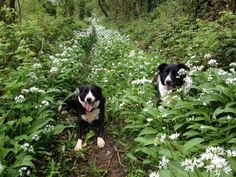 It's garlic time! Chieftan and Freckle enjoy a yomp around our woods, just a short walk from our holiday carriages in St Germans, Cornwall. Holiday Accommodation, Freckles, Cornwall, Acre, Woodland, Woods, Garlic, Animals, Animales