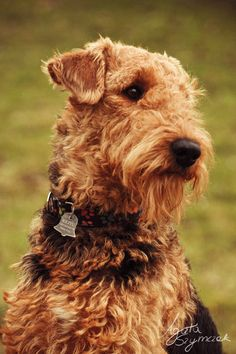 Kejtu by ~Palmix on deviantART  Airedale terrier