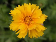 Top Plant Choices to Include in Your First Garden: Coreopsis, Tickseed