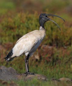 Ibis blanco australiano (Threskiornis molucca). Es un ave pelecaniforme de lafamilia Threskiornithidae que habita principalmente enAustralia.