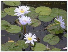 water lilly ponds | Water Lily Pond.