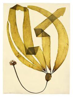 Archival seaweed art of N. leutkeana by Dianne Kornberg.