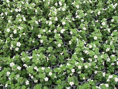 """""""Talifun Pearl"""" Bacopa, in front under eave as ground cover.  May need more sun than I have in that spot."""
