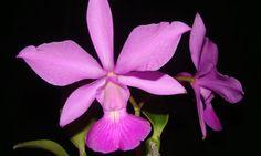 Miniguia para os apaixonados por orquídea traz curiosidades e dicas para cultivo de diferentes espécies