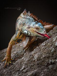 Iguana by Michaella Pucher