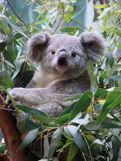 Koala named Orana at Cleveland Metroparks Zoo by Paula~Koala. Damn, they look like a teddybear Cute Funny Animals, Cute Baby Animals, Animals And Pets, Wild Animals, Cute Koala Bear, The Wombats, Australian Animals, Mundo Animal, Tier Fotos