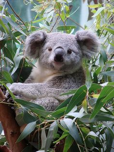 Koala named Orana at Cleveland Metroparks Zoo by Paula~Koala, via Flickr