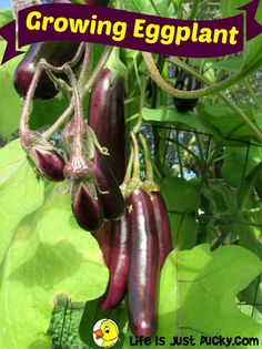 The queen of the hot weather garden is the eggplant. But how do you grow eggplant? How do you cook it? Is it good for you?