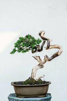 Buy Bonsai Tree, Bonsai Art, Bonsai Plants, Bonsai Garden, Bonsai Trees, Mame Bonsai, Juniper Bonsai, Miniature Trees, Growing Tree
