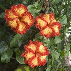 Hibiscus 'Chad'                                                                                                                                                                                 More