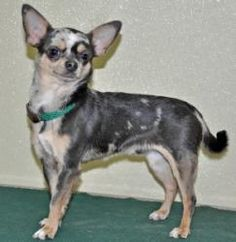 Patsy is an adoptable Chihuahua Dog in Port Washington, NY. Please call the shelter 516-944-8220 during working hours (Mon. to Fri. 9AM-4PM; Sat. 10-4PM) for more information about Patsy, the adoption...