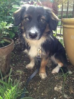 ADOPTED! Copper's Dream Rescue Cupertino, CA. <3 CODY is a 1 yr, 20 lb Papillon mix rescued from Stockton. Does well mtg new people. Tail always wagging! A sweetheart & likes to be close! Tolerated bath well. Learning to like the crate. Needs a home w/ no cats. Does well on a leash! Well behaved in the car. House trained via dog door. Enjoys playing catch, still working on bringing back the ball. Working on basic commands. Shy at first, but warms quickly! Prefers smaller dogs, rarely barks.